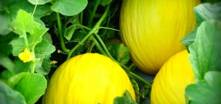A casca e as sementes do melão são mais ricas em nutrientes que a polpa. Então seguem 3 receitas fáceis para estimular a usar integralmente esta fruta